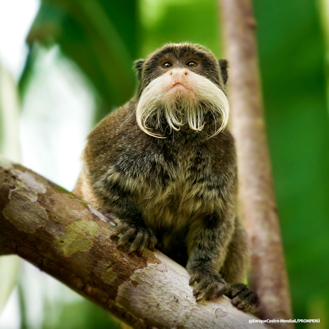 Black-chinned Emperor Tamarin