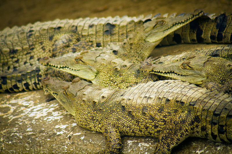 Tumbes crocodile