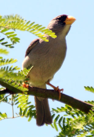 Cinereous Finch